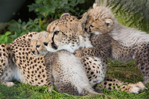The cheetah cubs with their mother Nimpy Photo: Darragh Kane.