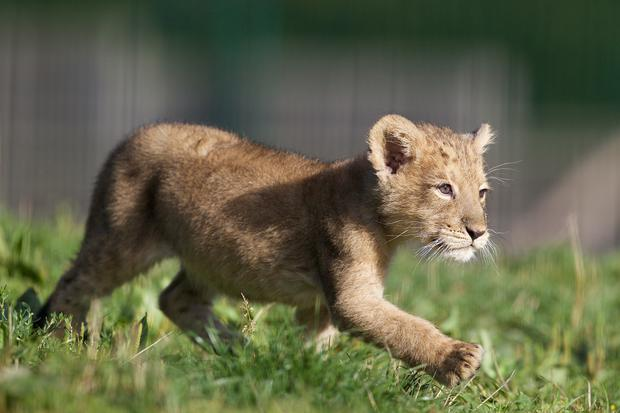 The newest arrival to the lion pride at Dublin Zoo Photo: Patrick Bolger Photography