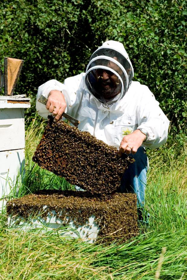BUZZING: A colony of honey bees can contain up to 60,000 bees at its peak, with one queen bee per hive