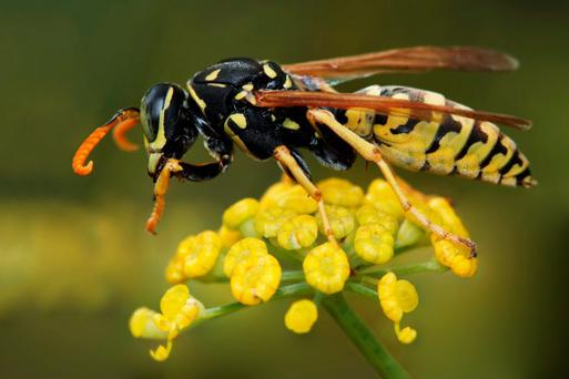 The wasp's venom contains a powerful