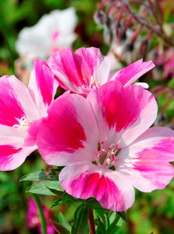 Satin flower can be sown as late as May