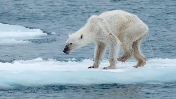 Skinny polar bear in Svalbard, Norway Credit: Kerstin Langenberger (Facebook)