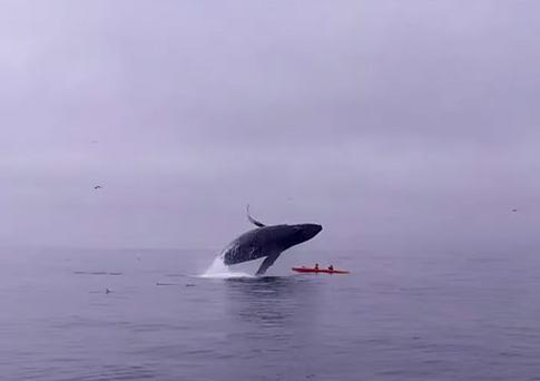 The kayakers had paddled straight into the group of feeding whales Credit: Sanctuary Cruises