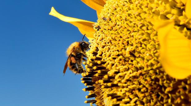 One third of our 98 native bees are facing wipe-out. Photo: Owen Humphreys/PA Wire