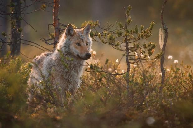 A wolf in the Finnish wilderness. Photo: Ville Heikkinen
