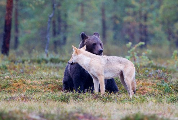 A bear and wolf in Kaainu. Photo: Ikka Niskanen