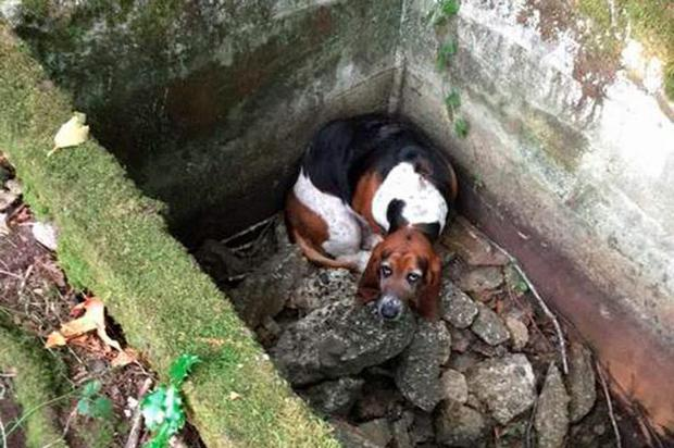 Bassett hound Phoebe was trapped for a week in the hole Credit: Vashon Island Pet
