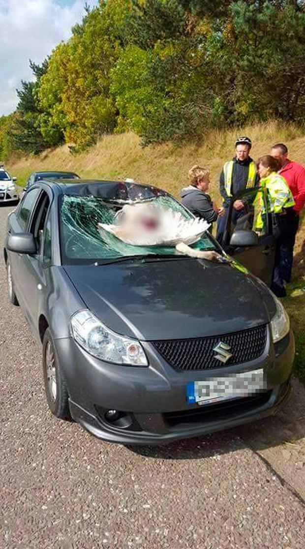 Mary Murphy admitted she was left terrified after the swan flew so low over the busy road that it ended up smashing directly into her windscreen