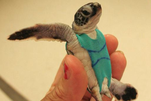 A sea turtle clad in his customised 'Borat' swimsuit