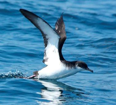 A GIFT OF WINGS: Breeding season for the Shearwater is now over and they've headed for warmer climes in Brazil