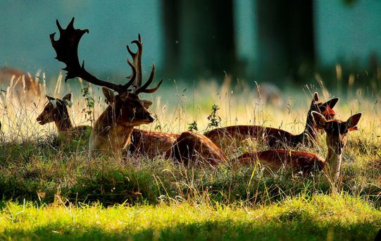 A fallow buck sits with does in the afternoon autumn sunlight in Phoenix Park, Dublin, as the rutting season begins. Photo: Niall Carson/PA Wire