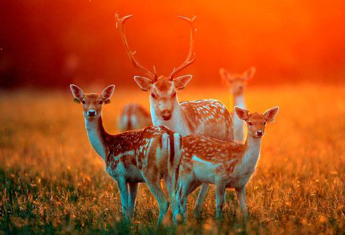 A buck stands with does in the late afternoon autumn sunlight in Phoenix Park, Dublin, as the rutting season begins. Photo: Niall Carson/PA Wire