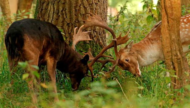 Fallow bucks rut in Phoenix Park, Dublin, as the rutting season begins. Photo: Niall Carson/PA Wire