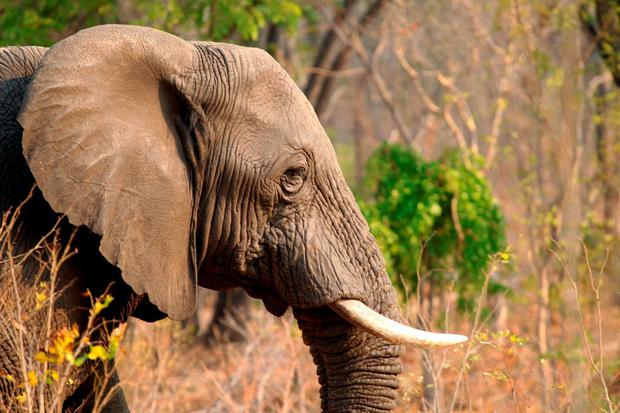 An elephant is seen in Hwange National Park, about 700 kilometres south west of Harare (AP Photo/Tsvangirayi Mukwazhi)