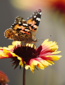 Painted Lady butterfly. Photo: Getty images