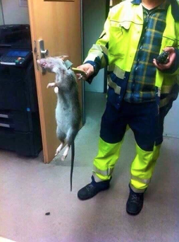 It has been confirmed that The 'London Underground rat' was actually found in Germany Credit: Twitter/BILDNews