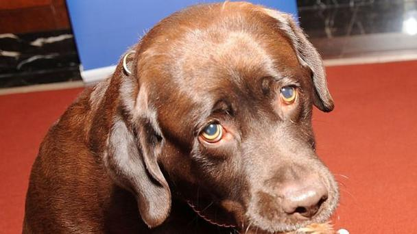 Allie Carter was shot by a chocolate Labrador (file picture)