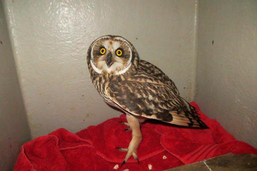 An owl being treated after flying more than 100 miles to an off-shore oil rig. Photo: Scottish SPCA/PA Wire