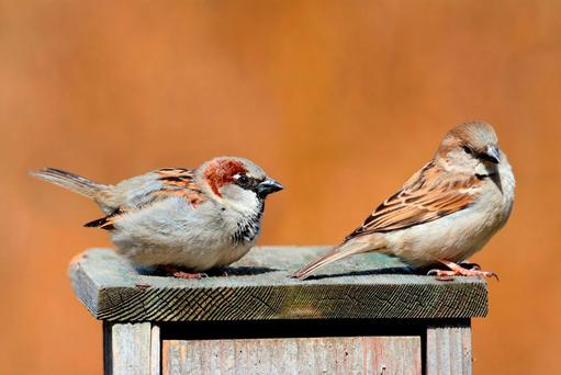 DWINDLING NUMBERS: Sparrows, once so abundant, have virtually disappeared from view