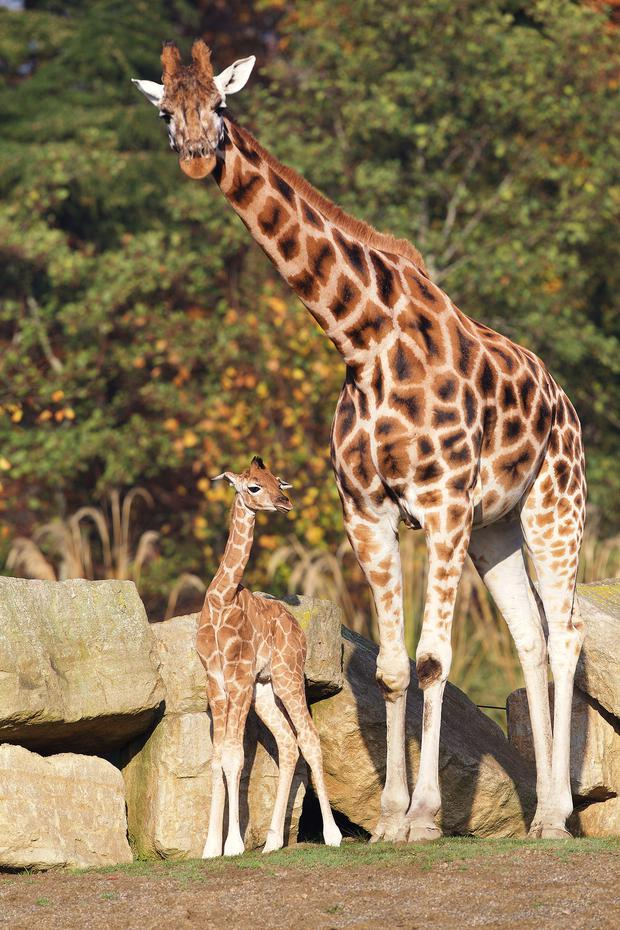 Dublin Zoo is celebrating the birth of a male Rothschild giraffe, born Sunday 25th October at 10.30pm. © Patrick Bolger Photography