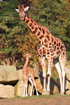 Dublin Zoo is celebrating the birth of a male Rothschild giraffe