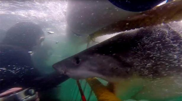 The Giant White Shark was stopped just centimetres from the group inside the cage Credit: Spencer Reilly