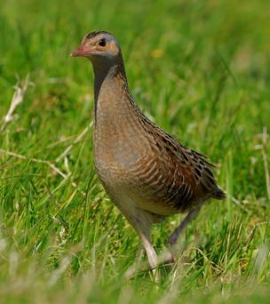 The corncrake: falling numbers
