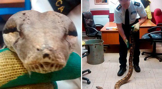 Animal rescuers are appealing for information after a giant six foot snake was found slithering through a park, capable of eating a baby. Photo: RSPCA