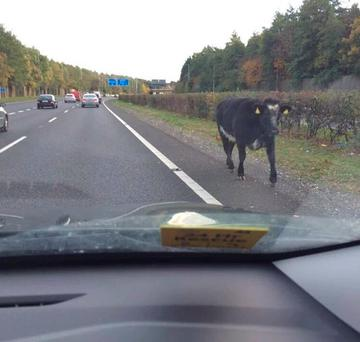 A cow ran loose on the M50 this afternoon (Photo: Twitter/@Woodulove)