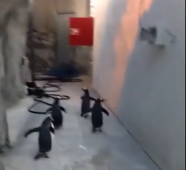 Zoo staff catch up with the fleeing penguins Credit:YouTube/zoodense