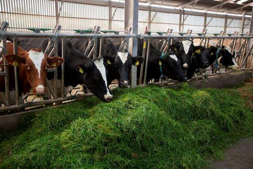Cows on a zero-grazing system tucking in at O'Donnell's, Togher, Portlaoise. Photo: Alf Harvey/HRPhoto.ie