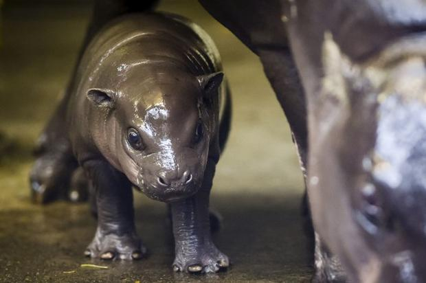 The little pygmy hippo calf hasn't been named yet Credit: PA/Ben Birchall