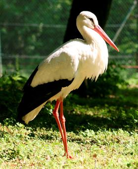 ELEGANT SENTINELS: White storks breed in colonies in Spain and Portugal and usually migrate to Africa for winter