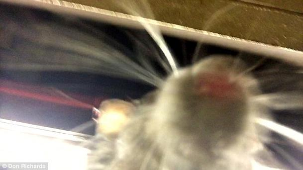 The rat sniffed the phone camera lens Credit:Don Richards