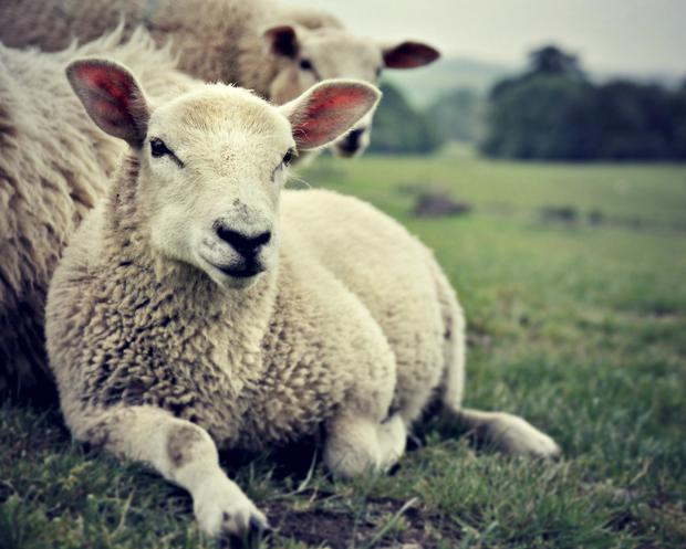 Maybe she's just tired of counting sheep.