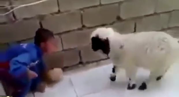 The lamb is successful at backing the child into the corner Credit: YouTube/GiveUpInternet