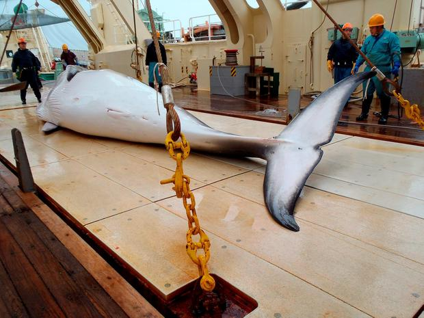 A minke whale on the deck of a whaling ship in the Antarctic Ocean on November 18, 2014. Japan will dispatch a