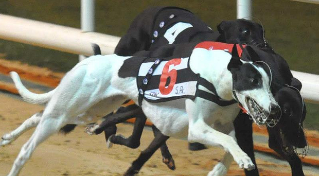 There will be two Irish trained and two Irish owned greyhounds in Friday's semi-finals of the Laurels and Oaks at Belle Vue (Stock image)