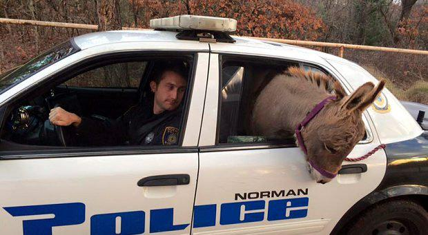 Oklahoma Police Officer Kyle Canaan drives his car with a Donkey on the passangers seats. Photo: Norman Police Department