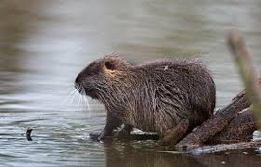 A coypu living in the wide Credit: PA