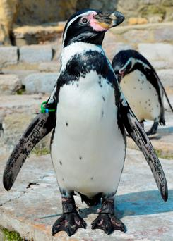 Dippy the arthritic penguin Credit: Seaview Wildlife Centre/PA Wire