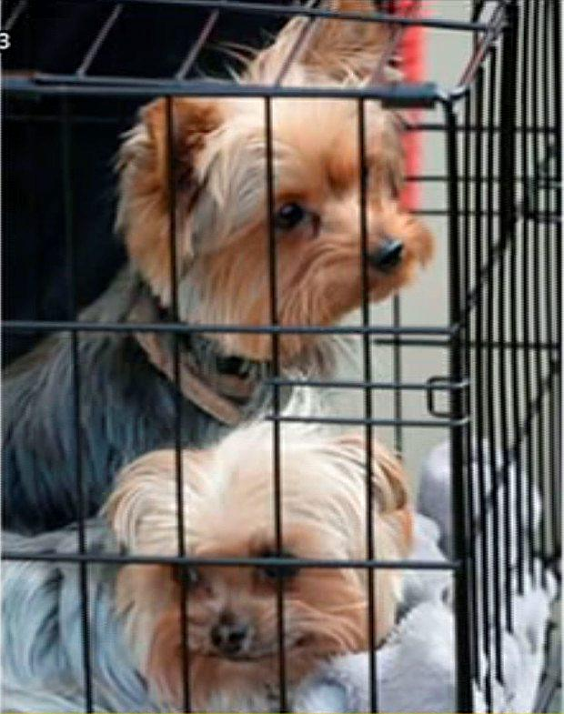 Johnny Depp's dogs Boo & Pistol
