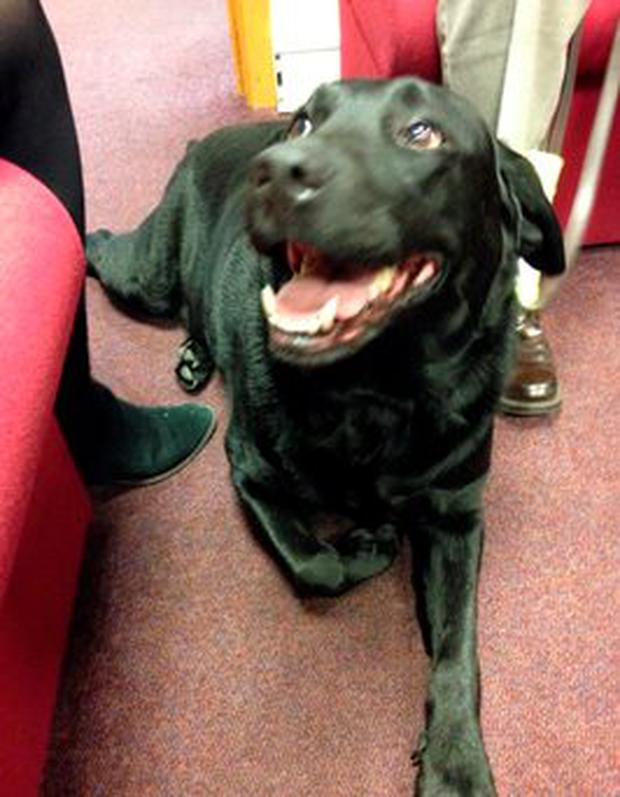 Rory the Guide Dog who has had his sight restored
