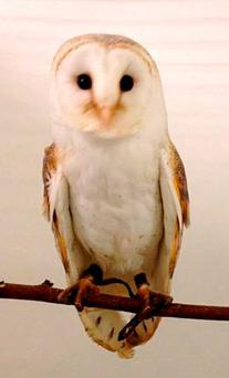 A barn owl, which was seized along with three others by police amid suspicion they were going to be illegally sold on the internet. Photo: PSNI/PA Wire