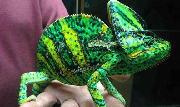 The colourful creature that was found just outside Cardiff Credit: RSPCA