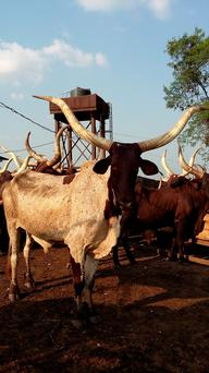 Typical Nigerian beef cattle