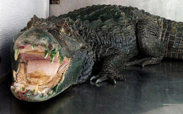 In this photo released by the Alameda County Sheriffs office, an alligator named