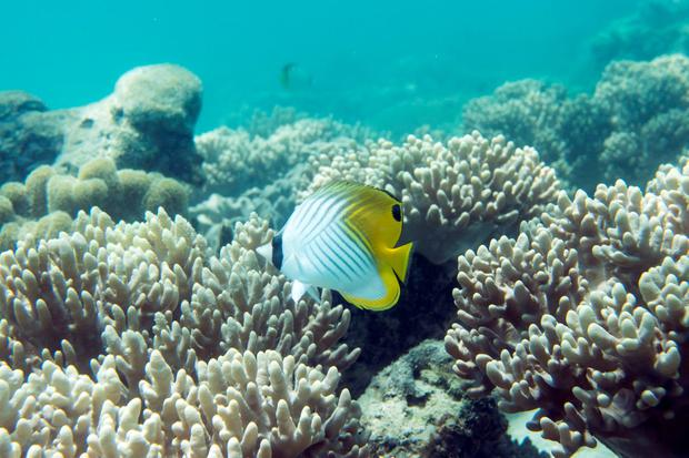 Butterfly fish on the Great Barrier Reef, Australia. Photo: PA Photo/Renato Granieri.