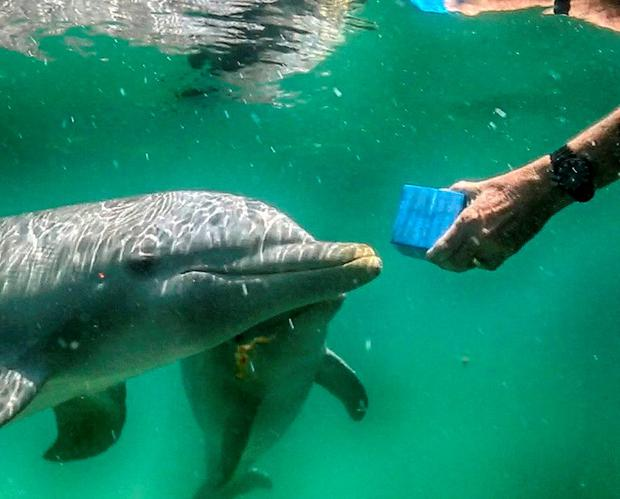 One of the dolphins 'speaking' into a recoding device Credit: SpeakDolphin
