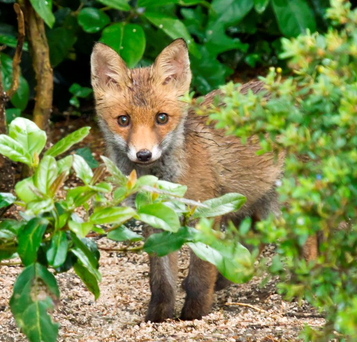 Red Fox cub hiding behind shrubbery whilst foraging for dropped bird seed